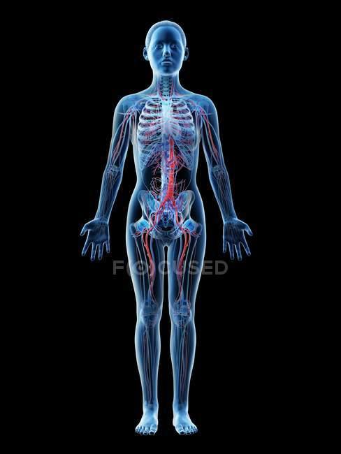 Anatomía femenina que muestra sistema vascular, ilustración digital . - foto de stock