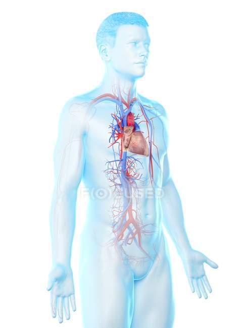Sistema vascular en el cuerpo masculino, ilustración por computadora . - foto de stock