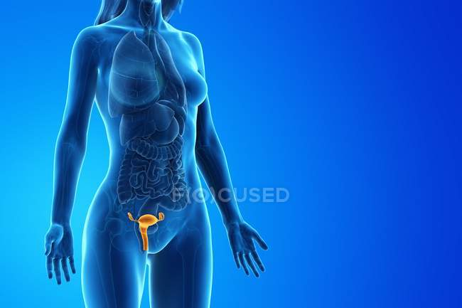 Abstract female body with visible uterus, digital illustration. — Stock Photo