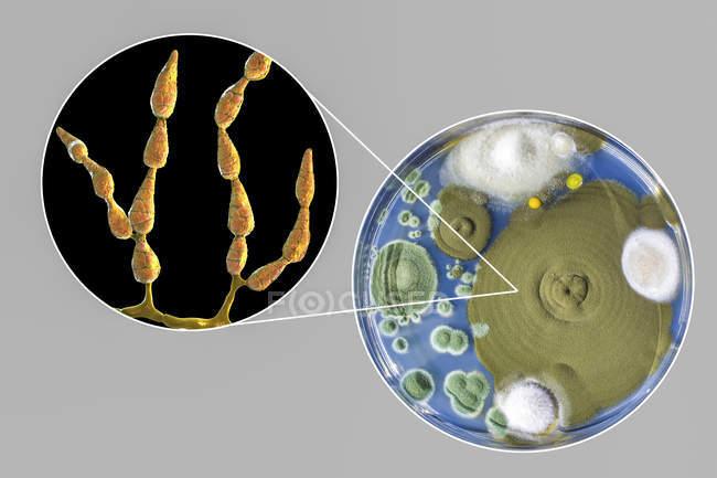 Ilustración digital de la morfología fúngica del hongo alergénico filamentoso Alternaria alternata y fotografía de colonias fúngicas en Sabouraud Dextrosa Agar . - foto de stock
