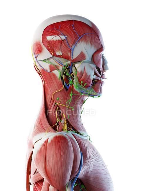 Anatomia e muscolatura della testa e del collo maschile, illustrazione digitale . — Foto stock