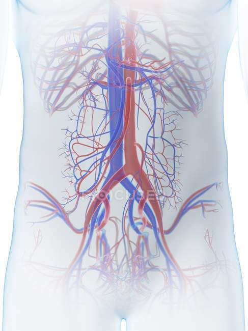Sistema vascular abdominal en el cuerpo masculino, ilustración por computadora . - foto de stock