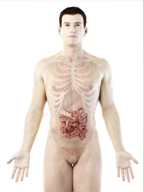 Silueta masculina con intestino delgado visible, ilustración digital . - foto de stock