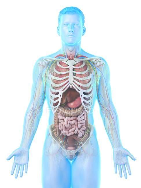 Modèle réaliste du corps humain montrant l'anatomie masculine avec des organes internes derrière les côtes, illustration numérique . — Photo de stock