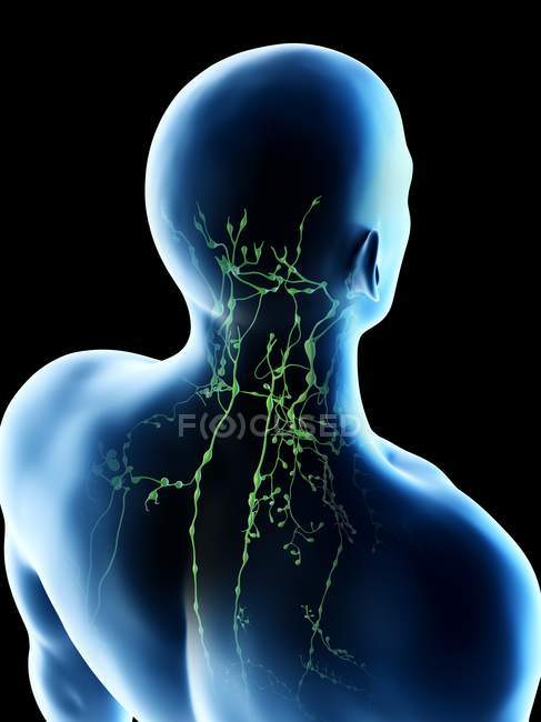 Lymph nodes of male neck and head, computer illustration. — Stock Photo