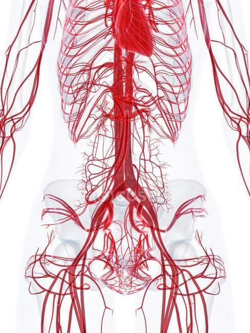 Estructura del sistema vascular femenino, ilustración por ordenador . - foto de stock