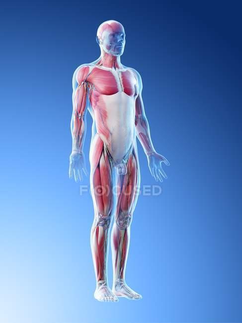 Modèle du corps humain montrant l'anatomie masculine et le système musculaire, illustration numérique . — Photo de stock