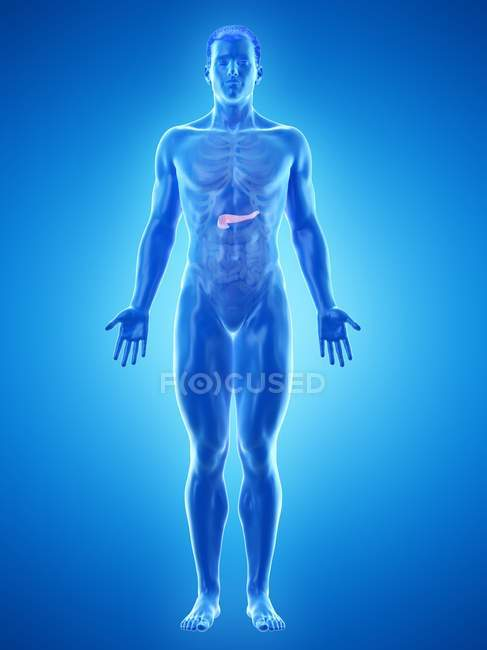 Anatomía del páncreas masculino, ilustración por computadora . - foto de stock