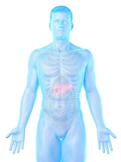 Corpo masculino anatomia do pâncreas, ilustração computacional . — Fotografia de Stock