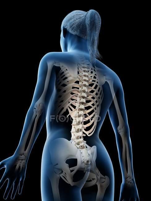 Cuerpo transparente femenino mostrando columna vertebral, ilustración digital . - foto de stock