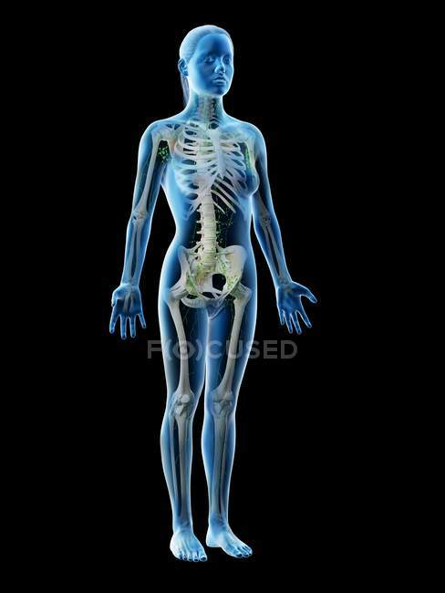 Abstract female model with visible skeleton and lymphatic system, computer illustration. — Stock Photo