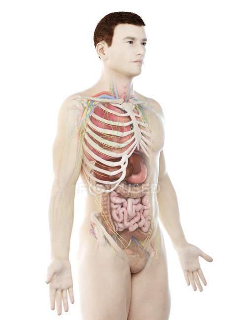 Modelo realista del cuerpo humano que muestra la anatomía masculina con órganos internos detrás de las costillas, ilustración digital . - foto de stock