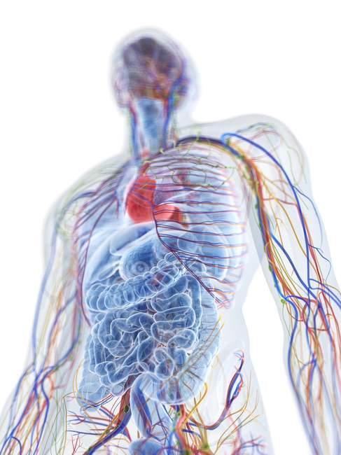 Modelo de cuerpo humano que muestra anatomía masculina y vasos sanguíneos, ilustración digital . - foto de stock