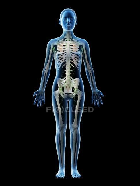 Modelo femenino abstracto con esqueleto visible y sistema linfático, ilustración por ordenador . - foto de stock