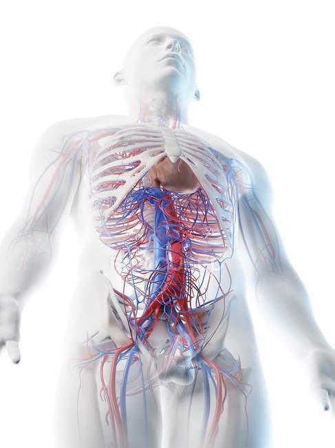Vasos sanguíneos abdominales masculinos, ilustración digital . - foto de stock