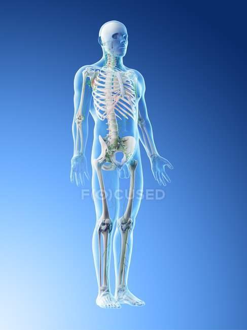 Corpo maschile anatomico che mostra scheletro e sistema linfatico, illustrazione digitale . — Foto stock