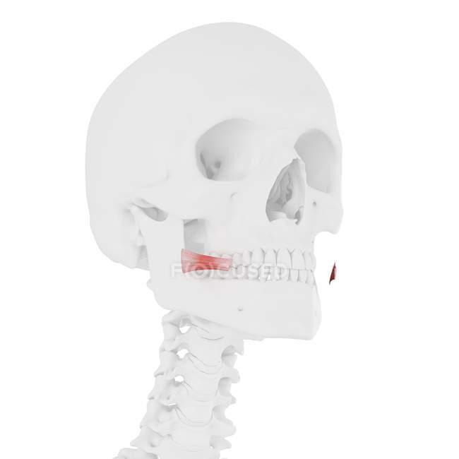 Esqueleto humano com vermelho colorido músculo Risorius, ilustração digital . — Fotografia de Stock