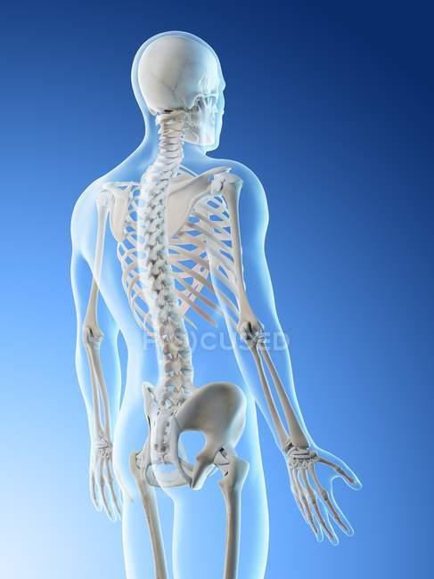 Silueta masculina con huesos visibles en la espalda, ilustración por ordenador . - foto de stock