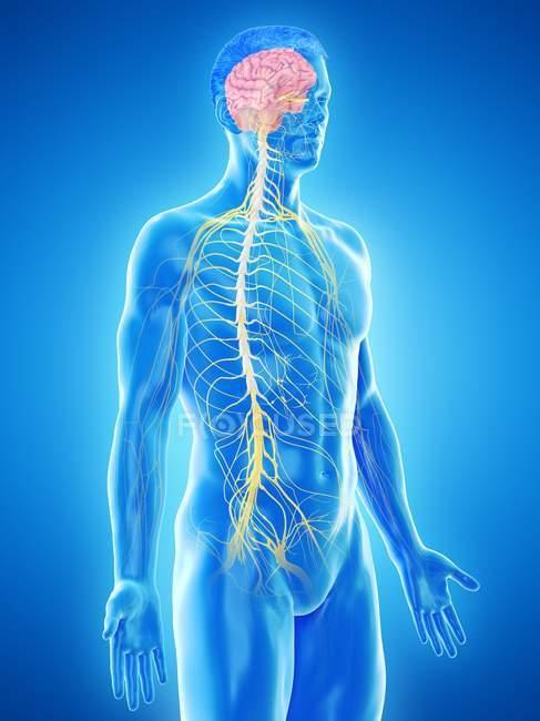 Anatomía masculina que muestra cerebro y sistema nervioso, ilustración por computadora . - foto de stock
