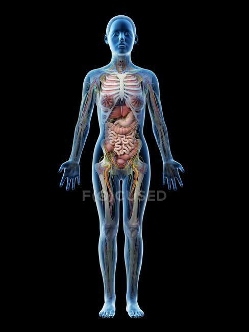Human body model showing female anatomy with internal organs, digital 3d render illustration. — Stock Photo