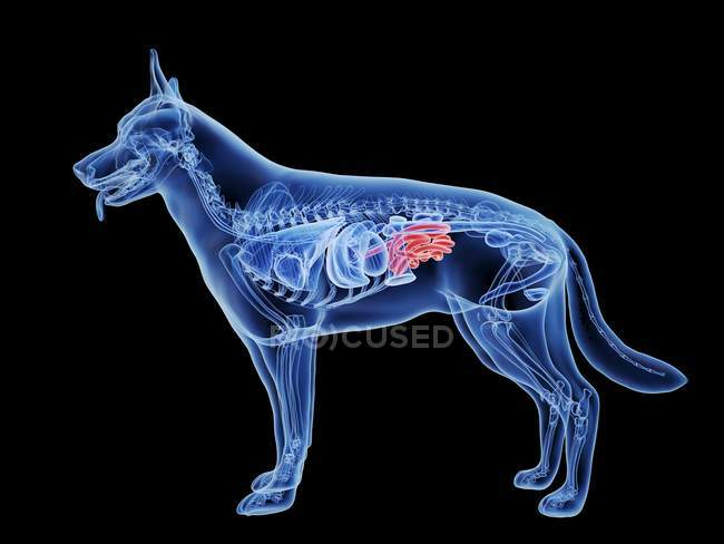 Dog silhouette with red colored small intestine on black background, digital illustration. — Stock Photo