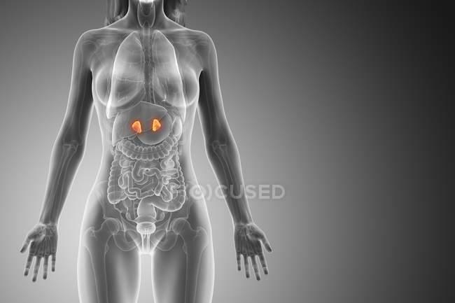 Cuerpo femenino con glándulas suprarrenales visibles, ilustración digital . - foto de stock