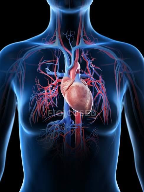 Female heart and vascular system, digital illustration. — Stock Photo