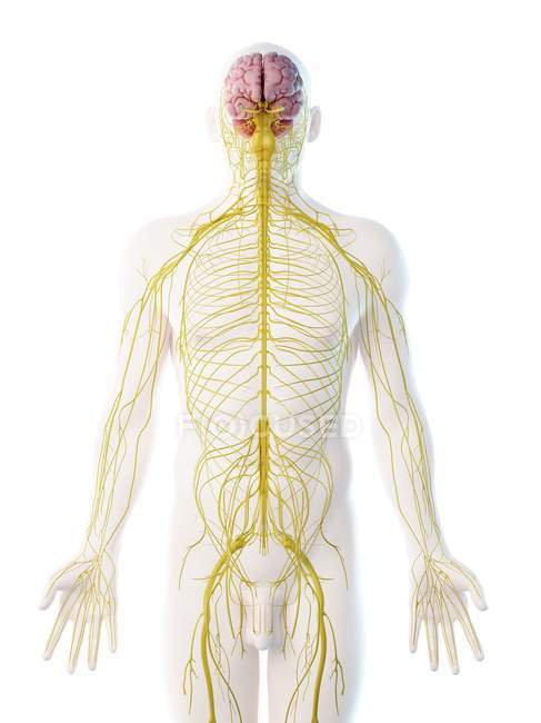 Male nervous system in body silhouette, computer illustration. — Stock Photo