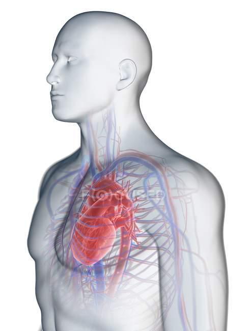 Sistema cardiovascular en el cuerpo masculino, ilustración por ordenador . - foto de stock