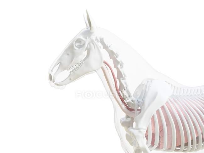 Anatomía del caballo y sistema esquelético de la parte superior del cuerpo, ilustración por ordenador . - foto de stock