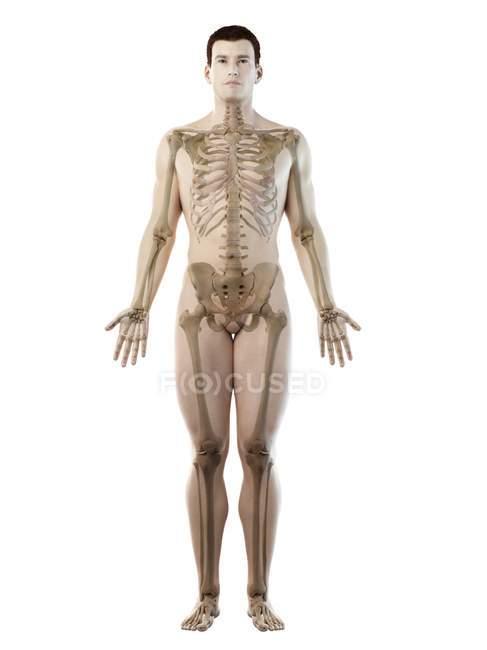 Esqueleto visible en silueta corporal masculina, ilustración por ordenador . - foto de stock