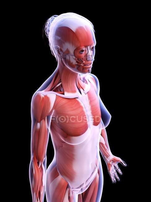 Реалистичная структура женской мускулатуры, компьютерная иллюстрация . — стоковое фото