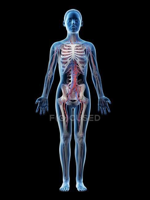 Anatomia feminina mostrando sistema vascular, ilustração digital . — Fotografia de Stock
