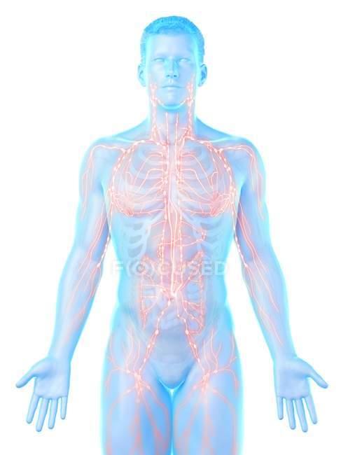 Modelo masculino anatômico mostrando sistema linfático, ilustração digital . — Fotografia de Stock