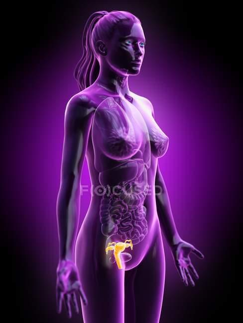 Corpo feminino abstrato com útero visível, ilustração digital . — Fotografia de Stock