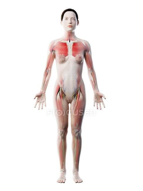 Menschliches Körpermodell mit weiblicher Anatomie mit Muskelsystem, digitale 3D-Darstellung. — Stockfoto