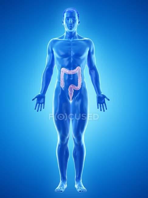 Silueta masculina con intestino grueso visible, ilustración digital . - foto de stock