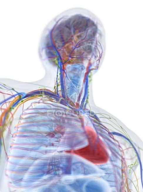 Modèle du corps humain montrant l'anatomie masculine et les vaisseaux sanguins, illustration numérique . — Photo de stock
