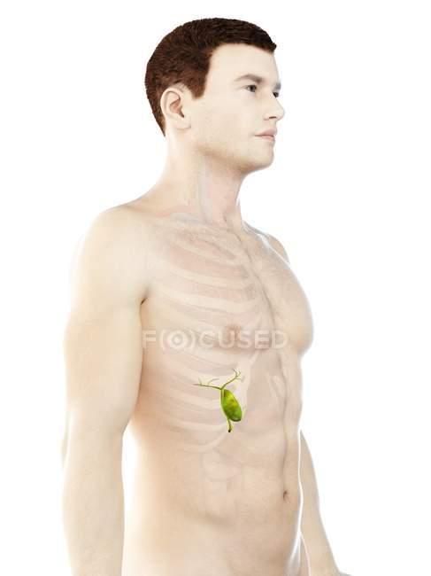 Vesícula biliar visible en el cuerpo masculino modelo 3d, ilustración de la computadora . - foto de stock