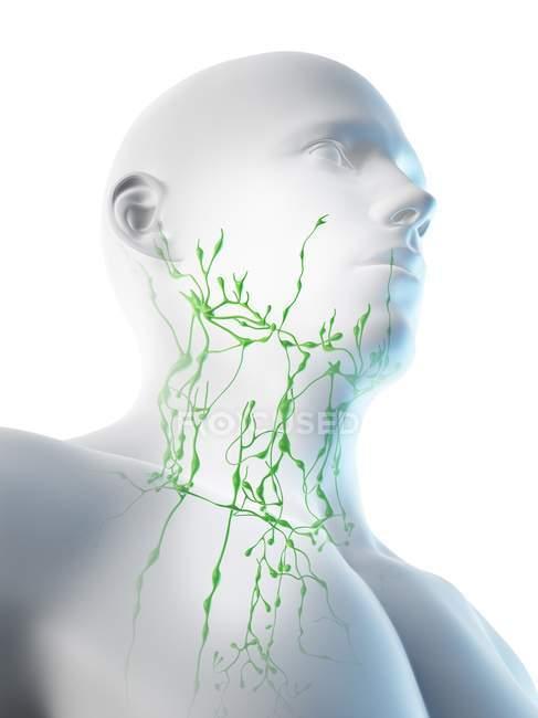 Sistema linfático masculino del cuello, ilustración digital . - foto de stock