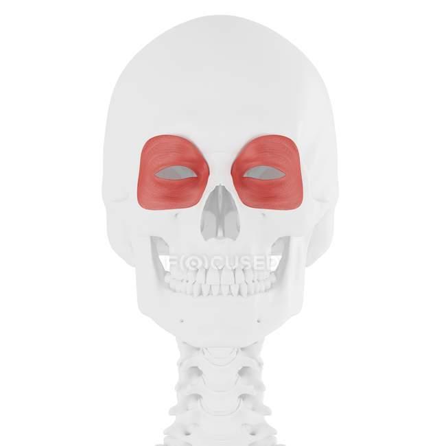 Esqueleto humano con músculo Orbicularis oculi de color rojo, ilustración digital . - foto de stock