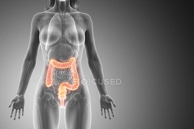 Silueta femenina con intestino grueso visible, ilustración digital . - foto de stock
