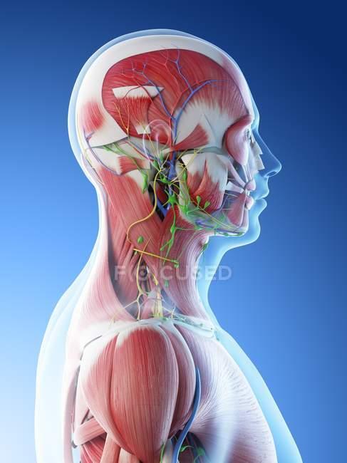 Anatomia e musculatura da cabeça e pescoço masculinos, ilustração digital . — Fotografia de Stock