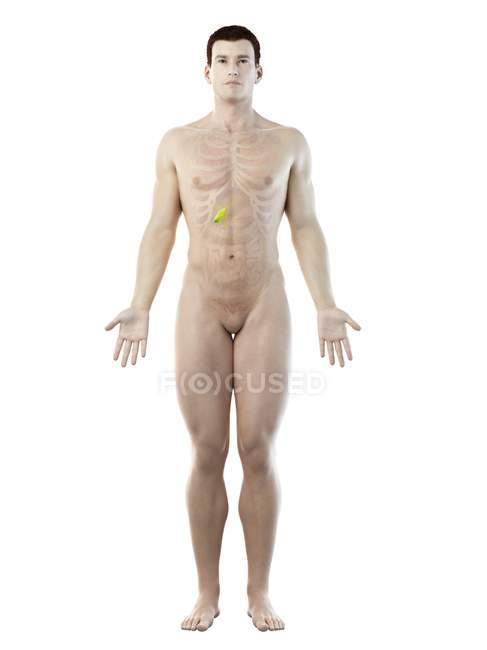 Visible gallbladder in male body 3d model, computer illustration. — Stock Photo