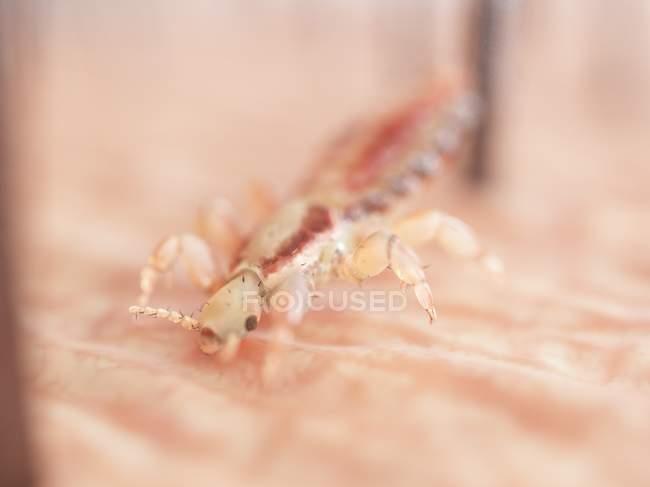 Il pidocchio parassita sulla pelle della testa umana, illustrazione digitale. — Foto stock