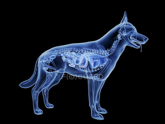 Dog silhouette with red colored gallbladder on black background, digital illustration. — Stock Photo