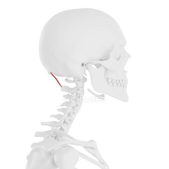 Esqueleto humano con capitis rectal de color rojo músculo mayor posterior, ilustración digital . - foto de stock