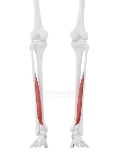 Parte del esqueleto humano con músculo Flexor hallucis rojo detallado, ilustración digital . - foto de stock