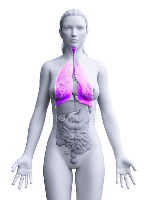 Женская анатомическая модель с розовыми и видимыми легкими, компьютерная иллюстрация . — стоковое фото