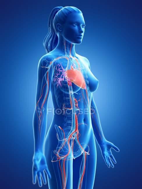 Corpo femminile con sistema cardiovascolare visibile, illustrazione digitale . — Foto stock